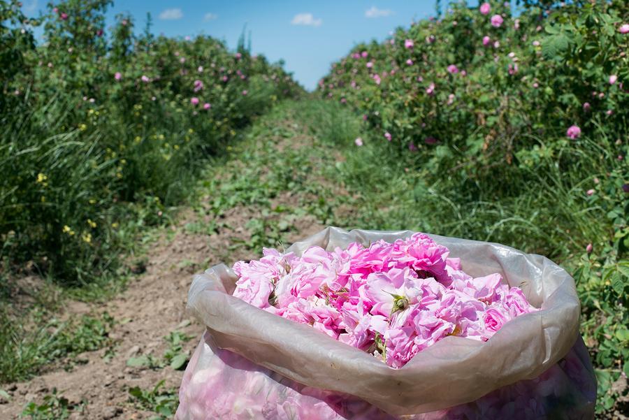 Zbiory róży damasceńskiej